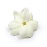 Arabski jaśmin, jaśminowy herbaciany kwiat Zdjęcia Stock