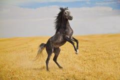 arabski koń Zdjęcia Stock