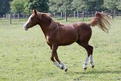 arabski koń Fotografia Stock