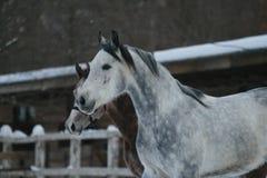 Arabski koń zimy portret migreny zdjęcia royalty free