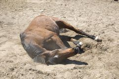 arabski koński kołysanie się obrazy royalty free