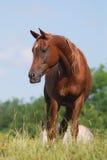 arabski koń Zdjęcia Royalty Free