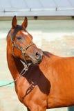 arabski koń Zdjęcie Stock