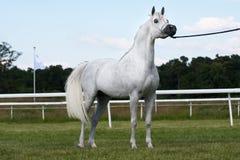 Arabski koń obraz stock