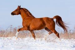 Arabski koń biega w zimie. Obraz Stock