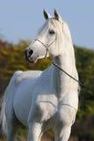 arabski koński biel Obraz Stock