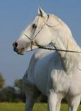 arabski koński biel Zdjęcia Royalty Free