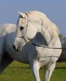 arabski koński biel Obrazy Stock