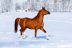 Arabski koński bryk w zimie. Fotografia Stock