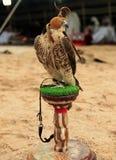 arabski obozowy jastrząbek Zdjęcia Royalty Free
