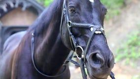 Arabski wspaniały koń zdjęcie wideo