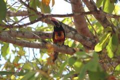 Aracari Κόστα Ρίκα Στοκ φωτογραφία με δικαίωμα ελεύθερης χρήσης