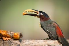 Aracari που σκαρφαλώνει κάστανο-έχον νώτα στο κούτσουρο που τρώει papaya Στοκ Εικόνα