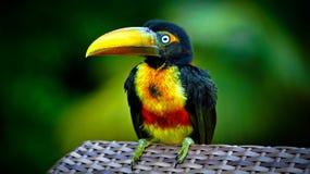 Aracari Стоковая Фотография