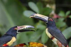 Aracari Fotografia Stock Libera da Diritti