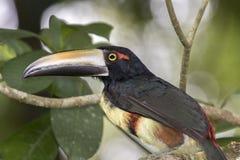 Aracari Fotografie Stock