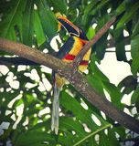Aracari Στοκ Εικόνα