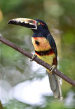 Aracari affiché ardent, saripiqui, Costa Rica Image libre de droits