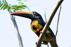 Aracari affiché ardent - frantzii de Pteroglossus Image stock