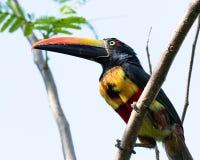 Aracari affiché ardent - frantzii de Pteroglossus Photos libres de droits