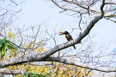 Aracari affiché ardent - frantzii de Pteroglossus Photos stock