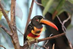 Aracari Ardiente-mandado la cuenta Imagenes de archivo