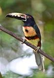 Aracari cargado en cuenta ardiente, saripiqui, Costa Rica Imagen de archivo libre de regalías