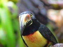 Aracari colleté Photo stock