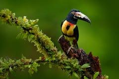 Aracari colocado um colar, torquatus de Pteroglossus, pássaro com conta grande Tucano que senta-se no ramo agradável na floresta, Foto de Stock