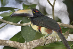 Aracari Stock Photography