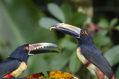 Aracari Royalty Free Stock Photo