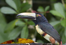Aracari Royalty Free Stock Image