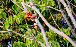 An Aracari feeding on a plant. An  pretty Aracari eating from a flower in the Pantanal,Brazil Royalty Free Stock Images