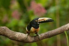 Aracari messo un colletto toucan Fotografia Stock Libera da Diritti