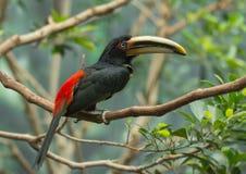 Aracari pallido-mandibled fotografie stock libere da diritti