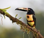 Aracari Stock Images