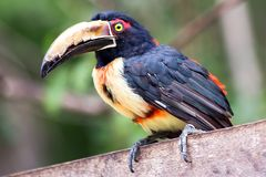 Aracari perched on a wooden fence stock images