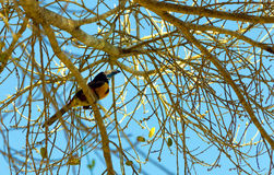 Aracari Toucan в Мексике Стоковая Фотография
