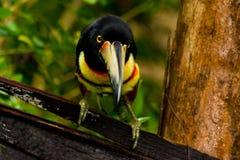 Aracari, Toucan Στοκ Εικόνες