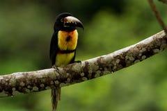 Aracari, Toucan Στοκ φωτογραφίες με δικαίωμα ελεύθερης χρήσης