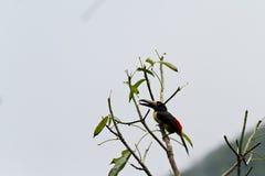 Aracari, Toucan Στοκ φωτογραφία με δικαίωμα ελεύθερης χρήσης