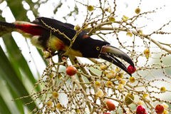 Aracari Toucan. Closeup of an Aracari toucan in the rain forest of belize Stock Photography