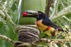 Aracari Toucan. Closeup of an Aracari toucan in the rain forest of belize Stock Images