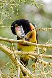 Aracari Toucan. Closeup of an Aracari toucan in the rain forest of belize Royalty Free Stock Photography