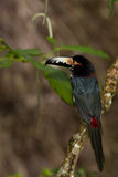 Aracari, Toucan. Aracari toucan perched on a branch in the rainforest of Belize Royalty Free Stock Photos
