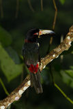 Aracari, Toucan. Aracari toucan perched on a branch in the rainforest of Belize Stock Images