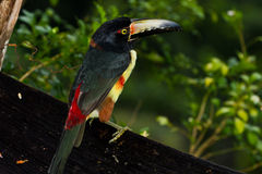 Aracari, Toucan. Aracari toucan perched on a branch in the rainforest of Belize Stock Photo
