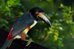 Aracari, Toucan Stock Images