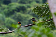 Aracari, Toucan. Aracari toucan perched on a branch in the rainforest of Belize Stock Photos