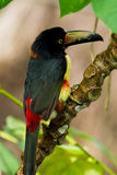 Aracari, Toucan. Aracari toucan perched on a branch in the rainforest of Belize Royalty Free Stock Image